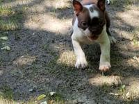 Beautiful AKC registered male Boston Terrier looking