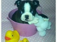 We have one seal and white female boston terrier puppy.