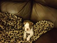 "of"" Rare Color""English Bulldog Pups now(4) weeks"