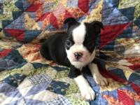 Beautiful Boston terrier female puppy ready November