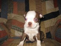 I have 1 adorable Boston Terrier puppy prepared now.