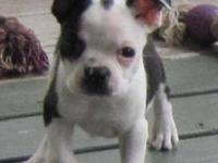 Boston Terrier Pups- 8 weeks old. Gorgeous Black/White