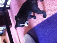 Pure breed boston terrier pups. They are 7 weeks old