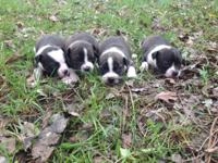 Boston terrier pups ready to be taken home on May 5th.