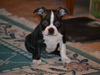 ckc boston terrier puppies current health cert from my