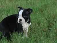 Boston Terrier Pups for sale TEXT 916  -