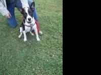 Boston Terrier - Rascal - Medium - Young - Male - Dog