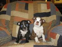 I currently have a Red & White female Boston Terrier