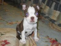 I have 1 lovely Red & & White Boston Terrier FEMALE