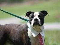 Boston Terrier - Ridley - Medium - Young - Male - Dog