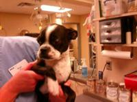 Boston Terrier - Rupert-adopted! - Small - Baby - Male