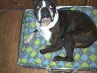 Boston Terrier - Ryker - Medium - Adult - Male - Dog