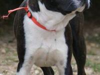 Boston Terrier - Scamper - Small - Adult - Male - Dog