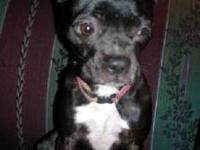 Boston Terrier - Scrappy - Medium - Adult - Male - Dog