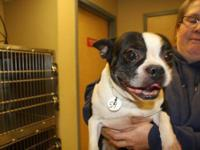 Boston Terrier - Sheldon - Small - Adult - Male - Dog
