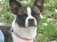 Boston Terrier - Sparky - Small - Young - Male - Dog
