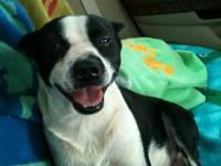 Boston Terrier - Stanley - Medium - Adult - Male - Dog