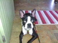 Boston Terrier - Stitch - Medium - Young - Male - Dog