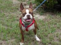 Boston Terrier - Stoli Dan - Medium - Adult - Male -