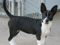 Boston Terrier - Summer - Small - Young - Female - Dog
