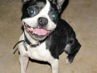 Boston Terrier - Taylor - Boston Terrier - Female -
