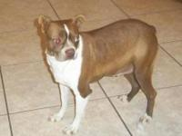 Boston Terrier - Twinkle - Medium - Adult - Female -