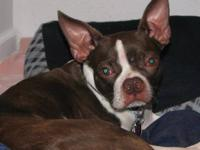 Boston Terrier - Uga In Mo - Small - Young - Male -