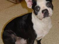 Boston Terrier - Wally - Medium - Adult - Male - Dog