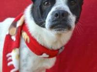 Boston Terrier - Whitman - Medium - Adult - Male - Dog