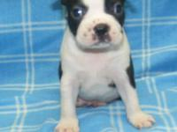 BOSTON TERRIERS AKC REG shots, wormed, vet checked,