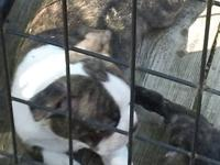 Boston babies for sale brindle they look like little