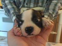 I have Boston Terriers. Children and gals. These pups