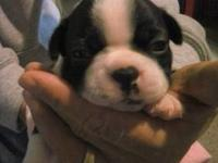 I have a healthy litter of 3 Boston Terriers. Born
