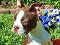 AKC Boston Terrier pups available now. Male and Female