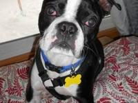 Boston Terrier - Archie - Large - Baby - Male - Dog