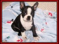 CKC Boston Terrier Babies Due in October 29th. We will