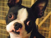 Boston Terrier - Budd - Small - Young - Male - Dog