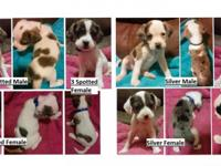 I have boston spaniels for sale, some are going to be