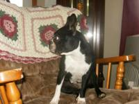 Boston terrier female 3 yrs old. She likes to play and