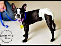 Boston Terrier - Ginny-read Bio Special Needs (foster