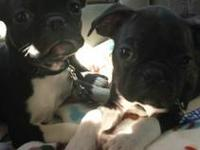 Very cute boston terrier pug mix puppies. They are