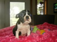 Boston terrier young puppies, fun happy little guys to