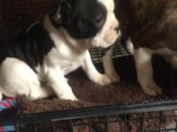 Adorable Male and Female Boston Terrier puppies are