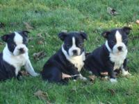 ACA and CKC Registered Boston Terrier Puppies! Arrive