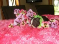 Boston terrier puppies, children tested and accepted!