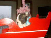 Boston Terrier Puppies: Make your Christmas Merry
