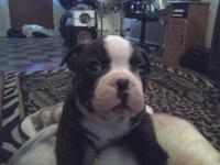 I have a male Purebred Boston Terrier Puppy. He is a