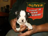 Boston Terrier pups:Looking for their forever homes.