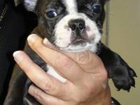 Adorable boston terrier pups available. A couple ready