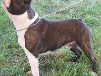 Great looking boston terriers to rehome. The male is